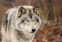 Hoe oud zijn de wolven?