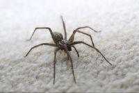 Hoeveel soorten spinnen zijn er in Duitsland?