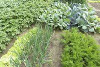 Welke groenten planten naast elkaar?