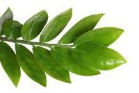 Zamioculcas - verzorging van de Oost-Afrikaanse plant
