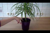 Palm heeft bruine tips - wat te doen?