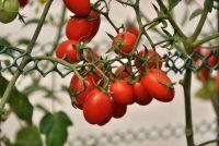 Tomaten ausgeizen - het moet worden gewaarborgd