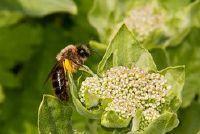 Wat eet bijen?