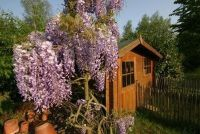 Een tuin met een Thuja hedge transplantatie - Instructies