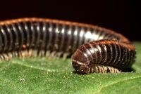 Kleine zwarte wormen - je zal zijn de Portugezen miljoenpoten in de tuin om zich te ontdoen van