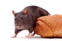 Herken tekenen van ratten - hoe het werkt
