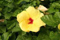 Hibiscus syriacus Marina - zodat je de plant te behouden