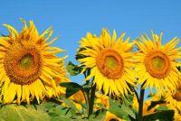 Cut Cut Sunflowers - hoe het werkt goed