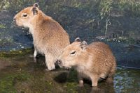 Capybara als huisdier?
