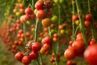 Build tomaten huis zelf - hoe het werkt