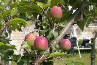 Snij appelboom als spindel goed