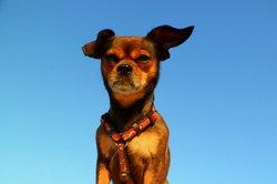 Maak hond harnassen zelf - dus het is comfortabel voor uw hond