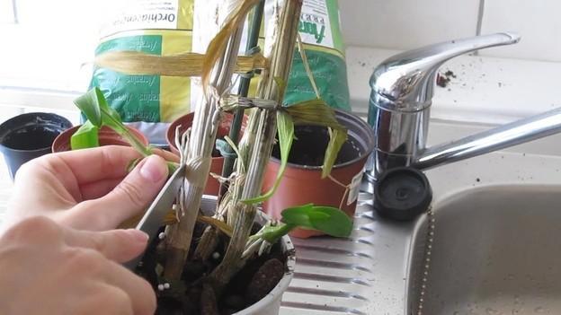 Orchids Uitloper Planten