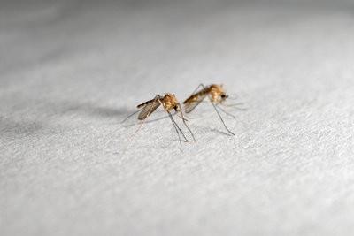 Planten tegen muggen ze effectief