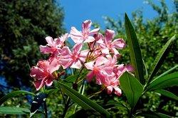 Oleander heeft gele bladeren - wat te doen?