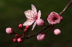 Japanse kers eetbaar?  - Meer informatie over de sier fruit Ontdek