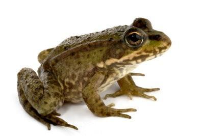 Maak kikker kostuum zelf - dus je zult Ferdinand Frog