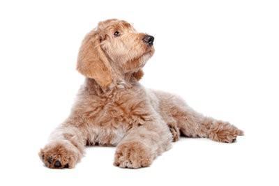 Hypoallergene hondenrassen - Ontdek voor mensen met allergieën