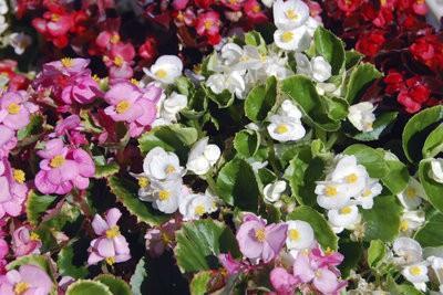 Eisbegonien - zodat u deze planten goed te onderhouden