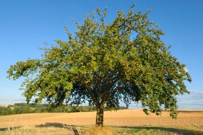 Maak boom dagboek voor een appelboom - dus slaagt's