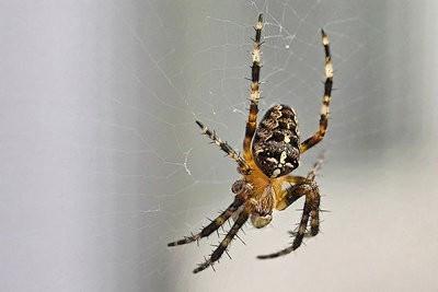 spinnen in het huis goed teken voor een goede. Black Bedroom Furniture Sets. Home Design Ideas